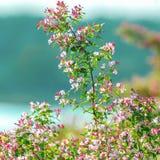 Flowering bush honeysuckle in the garden. Royalty Free Stock Image