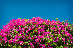 Flowering bush on the hotel in Egypt Royalty Free Stock Image