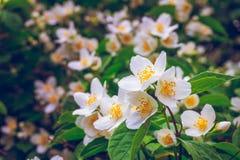 Flowering bush of jasmine Royalty Free Stock Photo