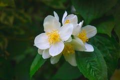 Flowering bush of jasmine Royalty Free Stock Photography