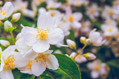 Flowering bush of jasmine Stock Images