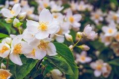Flowering bush of jasmine Royalty Free Stock Image