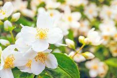 Flowering bush of jasmine Royalty Free Stock Photos