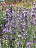 Flowering bush of lavender. In garden stock photo