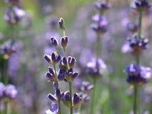 Flowering bush of lavender. In garden royalty free stock images