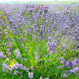 Flowering bush of lavender. Blooming bright lavender bush in field stock photography