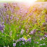 Flowering bush of lavender. In the morning sun royalty free stock photo
