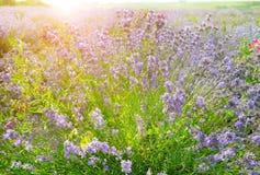 Flowering bush of lavender. In morning sun royalty free stock photos
