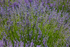 Flowering bush of lavender Royalty Free Stock Images