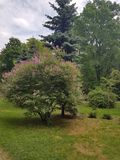 A flowering bush with a lot of branches with green leaves and pink flowers. The bush grows near the fir. There are many green trees around. The soil is covered Stock Photo