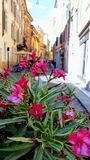 Flowering bush oleander on a street in Italy stock photography