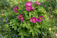 Flowering bush of Paeonia daurica and vinca minor Royalty Free Stock Image