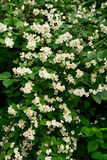 Flowering Bush Philadelphus. Floral background Stock Photo