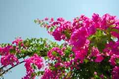Flowering bush of pink lilac flower under blue sky. Spring flower Concept royalty free stock image