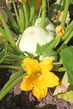 Flowering bush pumpkin plant  with fruits Stock Photography