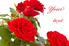 Flowering bush of red roses. On a white background royalty free stock photo