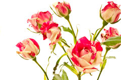 Flowering bush of red roses. On a white background stock photography