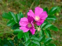 Flowering bush rose hips Royalty Free Stock Images