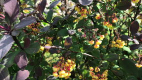 Flowering bush. Spring young green leaves and beautiful little yellow flowers with red patches.  stock video