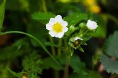 Flowering bush strawberries. berry garden Royalty Free Stock Image