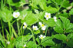 A flowering bush of strawberries stock images