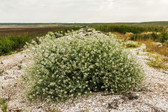 Flowering bush tumbleweed on the shore of the dry lake Stock Photo