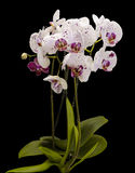 Flowering bush of white orchids. Isolate on black background stock photography