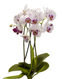 Flowering bush of white orchids. Isolate on white background. Stock Photography
