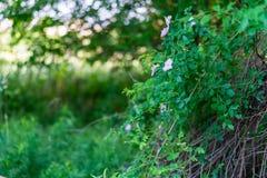 Flowering bush of wild rose hips royalty free stock photo