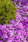 Flowering bushes Phlox subulate Stock Image