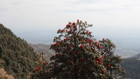 Flowering bushes, red inflorescences and leaves shining in oblique rays of sun. Tree rhododendron Rhododendron arboreum. Spring in Himalayas. Kullu valley stock video