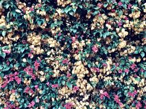 Flowering bushes wall with flowers and greenery background. Flowering bushes wall with flowers and greenery as background royalty free stock photos