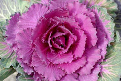 Flowering cabbage Royalty Free Stock Images