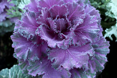 Flowering Cabbage Royalty Free Stock Photography