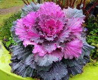 Flowering cabbage after a rainshower stock photography