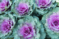 Flowering cabbages, closeup : texture pink and lime Royalty Free Stock Images
