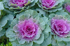 Flowering cabbages, closeup : texture pink and lime Royalty Free Stock Photo