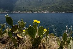 Flowering cacti near the Adriatic coast stock photography