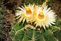 Flowering Cacti Stock Photos