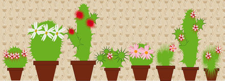 Flowering cacti in pots. Large and small vetuschie cacti in pots in the room Royalty Free Stock Images