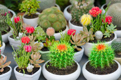 Flowering cacti in pots Stock Photos