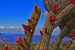 Flowering cacti from the Serra do Espinhaço stock photography