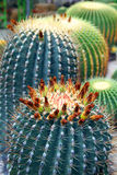 Flowering cactus Stock Photography