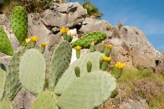 Flowering cactus Stock Image