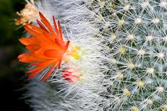 Flowering Cactus. Macro image of a flowering cactus Royalty Free Stock Photos