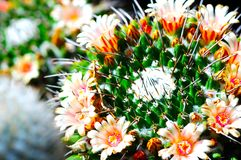 Flowering Cactus Royalty Free Stock Image