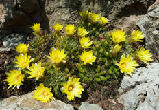 Flowering cactus. Plants growing amidst rocks Stock Photos