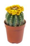 Flowering cactus Royalty Free Stock Photo