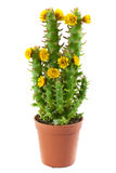 Flowering cactus Royalty Free Stock Photography