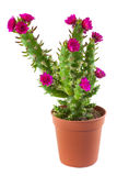 Flowering cactus Stock Photography